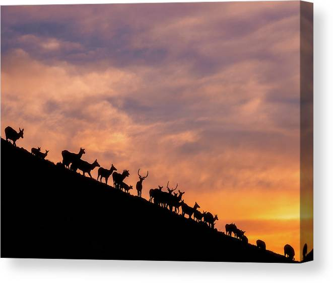 Elk Canvas Print featuring the photograph Hillside Elk by Darren White