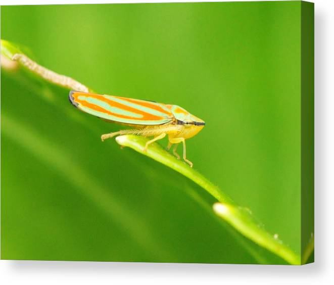 Leaf Hopper Canvas Print featuring the photograph Hop On A Leaf #2 by Michelle DiGuardi