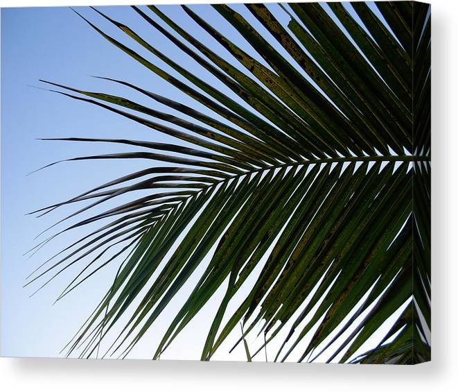Palm Tree Canvas Print featuring the photograph Palms To The Sky by Amanda Vouglas