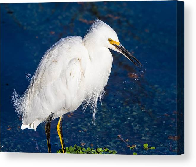 California Canvas Print featuring the photograph Snowy Egret In Afternnon Light by Marc Crumpler