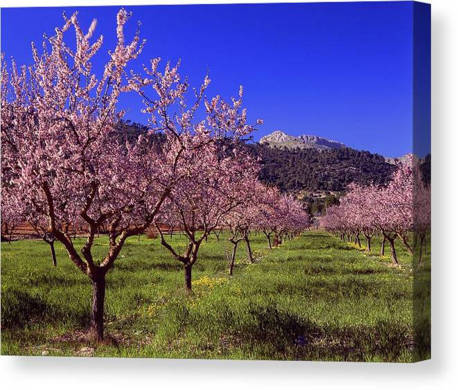 Scenics Canvas Print featuring the photograph Almond Tree Blossom, Majorca, Spain by Juergen Richter / Look-foto
