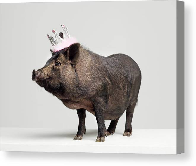 Crown Canvas Print featuring the photograph Pig With Toy Crown On Head, Studio Shot by Roger Wright