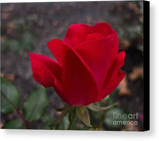 Rose Canvas Print featuring the photograph Red Rose by Arlene Carmel
