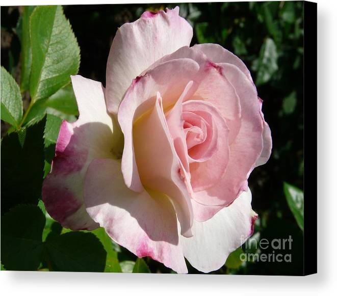 Rose Canvas Print featuring the photograph Springtime Has Sprung by Kendall Eutemey