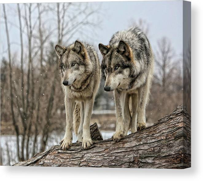 Wolf Wolves Animal Wildlife Mammal Photography Photograph Canis Lupis Grey Timberwolf Canvas Print featuring the photograph Wolf Pair by Shari Jardina