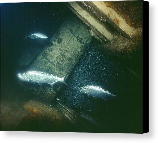 Fish Canvas Print featuring the photograph Tarpon Underwater View by Burton McNeely