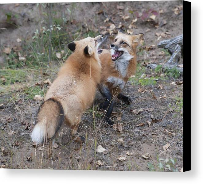 Canvas Print featuring the photograph Dualing Red Foxes by Ken Cornett