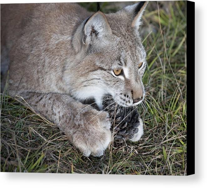 Canvas Print featuring the photograph Playful Lynx by Ken Cornett