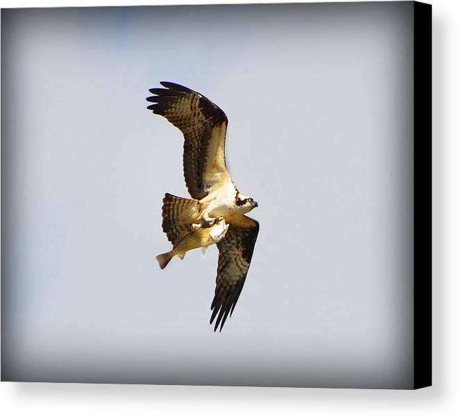 Osprey Canvas Print featuring the photograph The Hunt by Amanda Vouglas