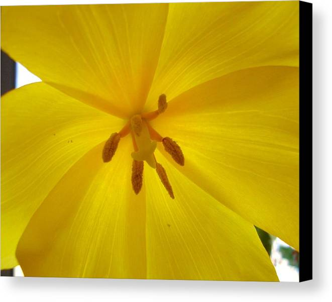 Yellow Canvas Print featuring the photograph Tulip Light by Lessandra Grimley