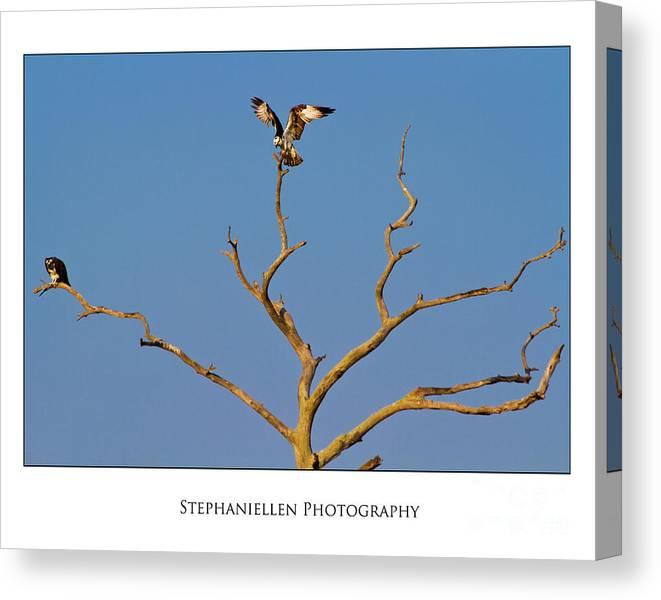 Osprey Canvas Print featuring the photograph Honeymoon Osprey by Stephanie Hayes