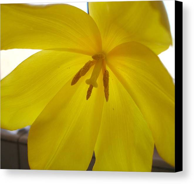 Yellow Canvas Print featuring the photograph Tulip Delight by Lessandra Grimley