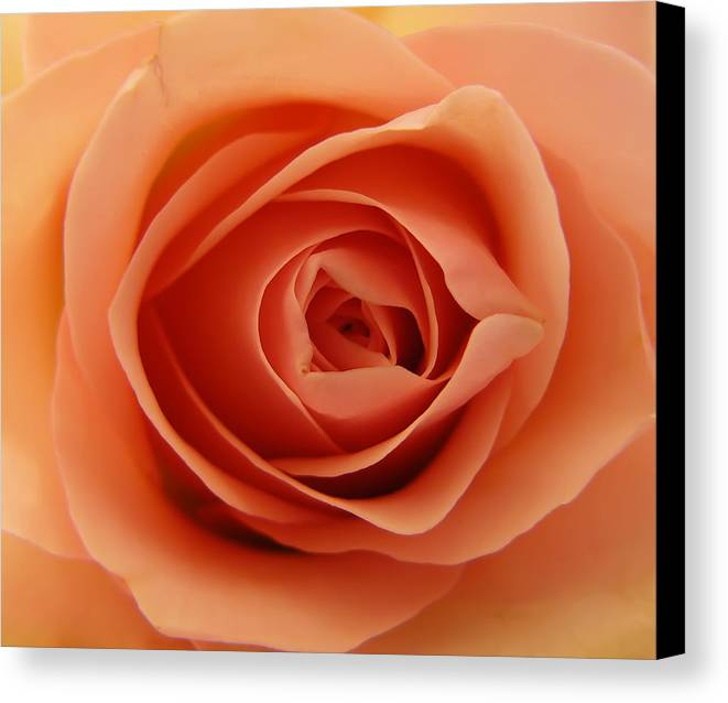 Rose Canvas Print featuring the photograph Rose by Daniel Csoka