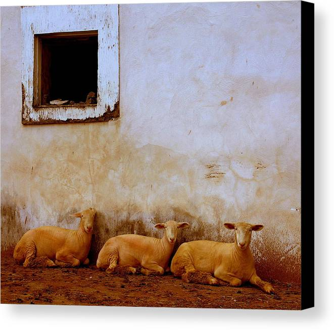 Sheep Canvas Print featuring the photograph Three Wise Sheep by Maggie McLaughlin