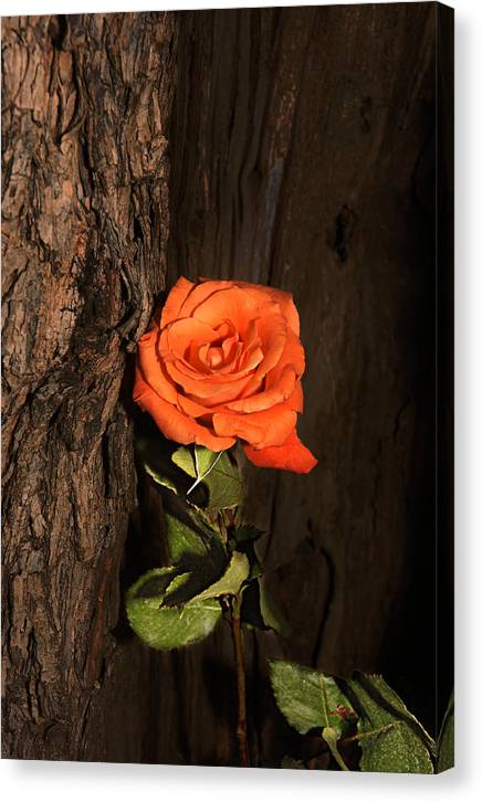 Rose Canvas Print featuring the photograph Orange Sherbet And Hot Chocolate by Richard Gordon
