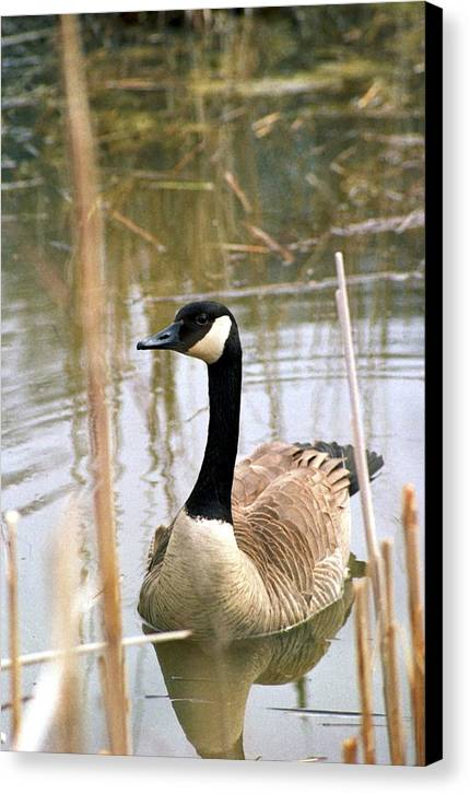 Canada Goose Canvas Print featuring the photograph 070406-41 by Mike Davis