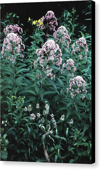 Wildflower Canvas Print featuring the photograph 92347-17 by Mike Davis
