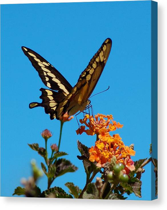 Butterfly Canvas Print featuring the photograph Butterfly II by Susan Heller