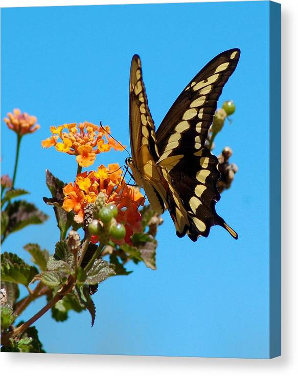 Butterfly Canvas Print featuring the photograph Butterfly IIi by Susan Heller