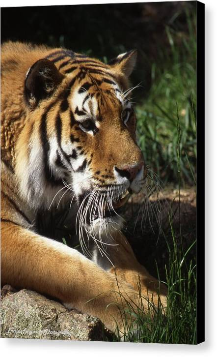 Animal Canvas Print featuring the photograph Big Cat by Ernie Ferguson