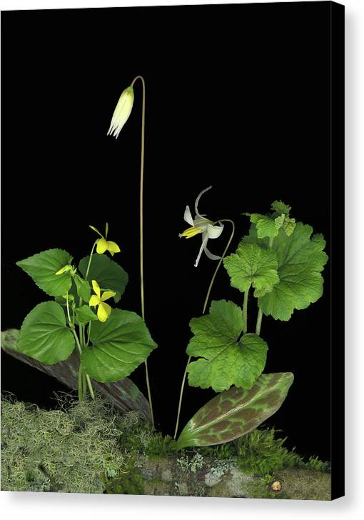Fawn Lily Canvas Print featuring the digital art Fawn Lily by Sandi F Hutchins