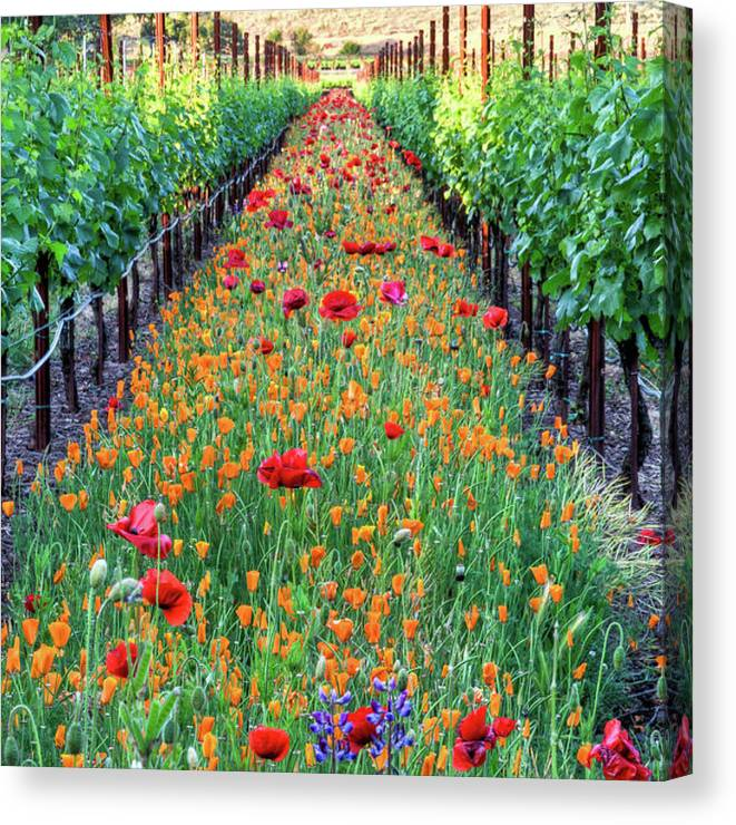 Tranquility Canvas Print featuring the photograph Poppy Lined Vineyard by Rmb Images / Photography By Robert Bowman