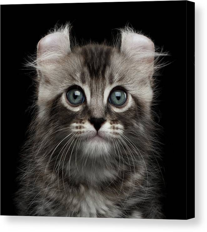 Curl Canvas Print featuring the photograph Cute American Curl Kitten with Twisted Ears Isolated Black Background by Sergey Taran
