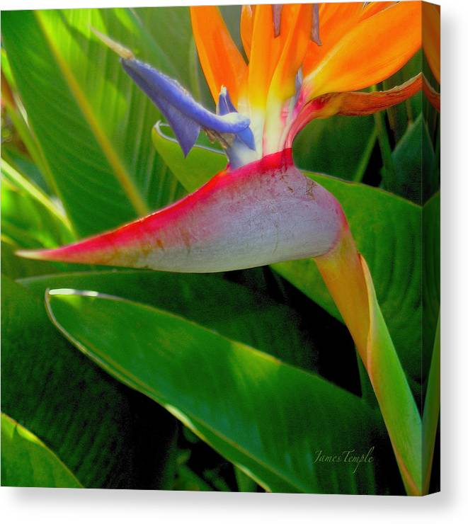 Bird Of Paradise Canvas Print featuring the photograph Queen Charlotte by James Temple