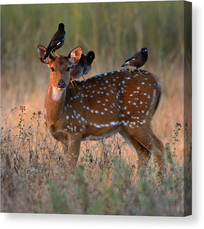 Songbird Canvas Print featuring the photograph Myna Birds Sturnidae Sp. On Axis Deer by Art Wolfe