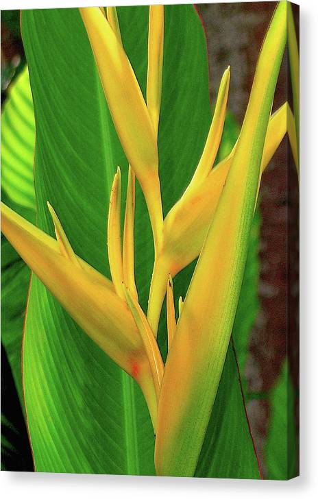 Hawaii Flowers Canvas Print featuring the photograph Hawaii Golden Torch by James Temple