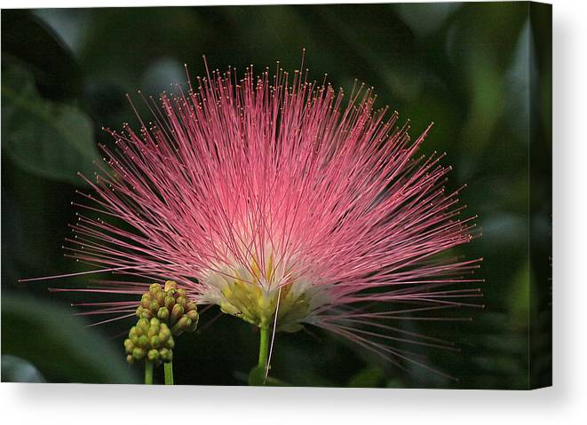 In Focus Canvas Print featuring the photograph Flower by Dart and Suze Humeston