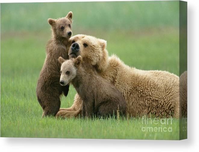 00345263 Canvas Print featuring the photograph Grizzly Cubs Play With Mom by Yva Momatiuk John Eastcott