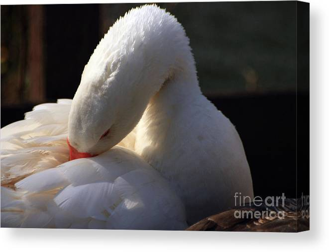 St James Lake Canvas Print featuring the photograph Preening Goose by Jeremy Hayden
