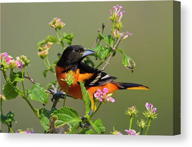 Adult Canvas Print featuring the photograph Baltimore Oriole (icterus Galbula by Larry Ditto