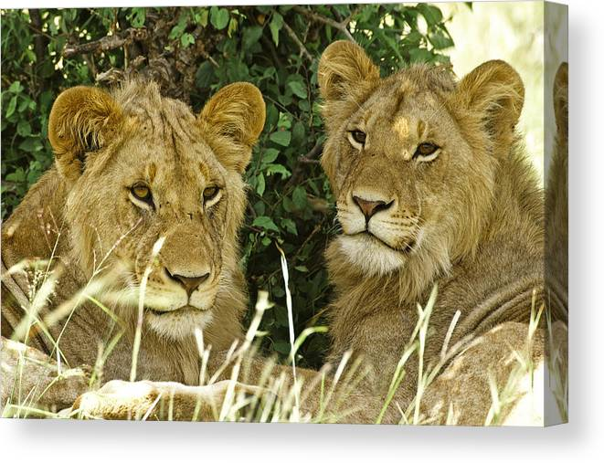 Lion Canvas Print featuring the photograph Young Brothers by Michele Burgess