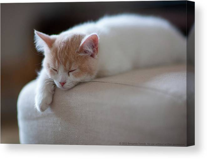 Pets Canvas Print featuring the photograph Beige And White Kitten Sleeping On by Benjamin Torode