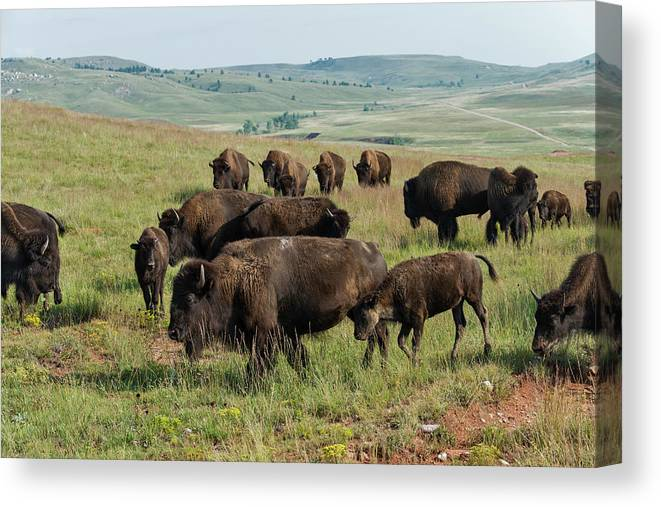 Grass Canvas Print featuring the photograph Bison Buffalo In Wind Cave National Park by Mark Newman