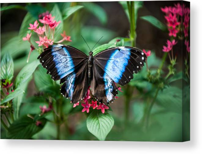 Flower Canvas Print featuring the photograph Black and Blue Wings by Paul Johnson