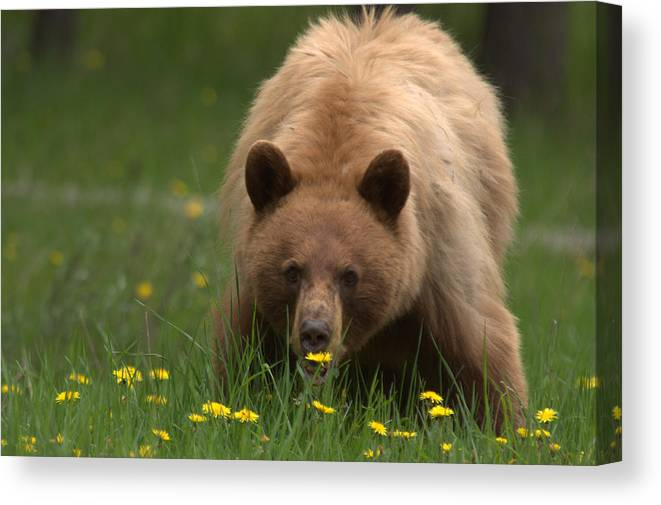 Bear Canvas Print featuring the photograph Black Bear by Frank Madia