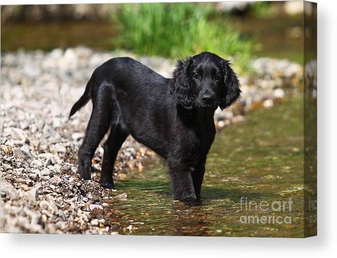 FLAT COATED RETRIEVER MEN AND GUN DOG PHOTO PRINT MOUNTED READY TO FRAME