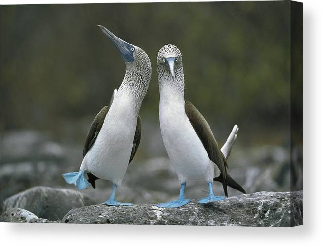00141144 Canvas Print featuring the photograph Blue Footed Booby Dancing by Tui De Roy