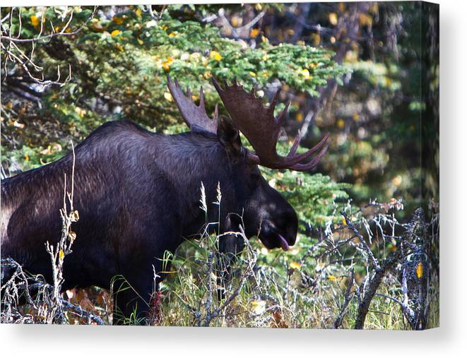 Canvas Print featuring the photograph Bull Moose by Richard Jack-James