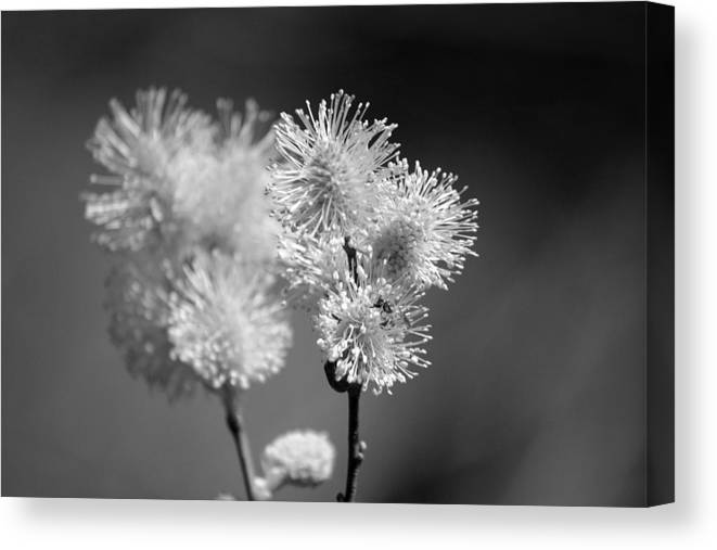 Pussy Willow Canvas Print featuring the photograph Burst by Lisa Kane