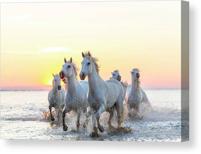 Animal Themes Canvas Print featuring the photograph Camargue White Horses Running In Water by Peter Adams