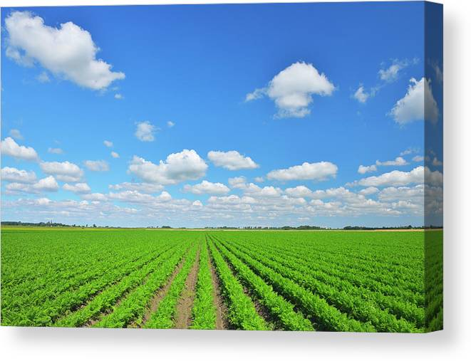 Tranquility Canvas Print featuring the photograph Carrot Field by Raimund Linke