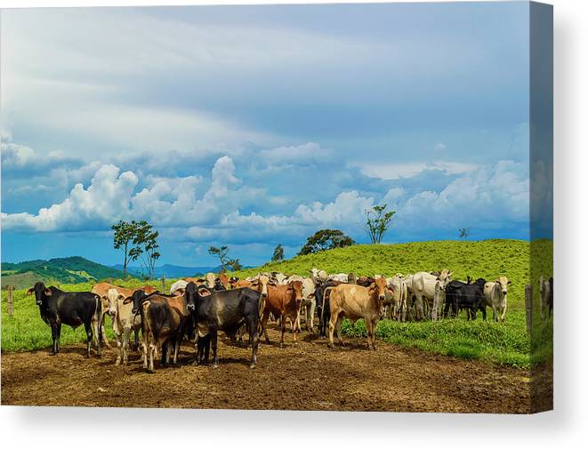 Grass Canvas Print featuring the photograph Cattle by Kcris Ramos
