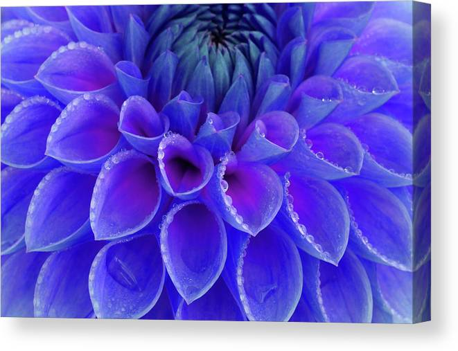 Haslemere Canvas Print featuring the photograph Centre Of Blue And Purple Dahlia Flower by Rosemary Calvert