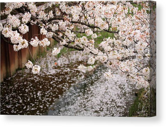 Season Canvas Print featuring the photograph Cherry Blossoms by Photography By Zhangxun