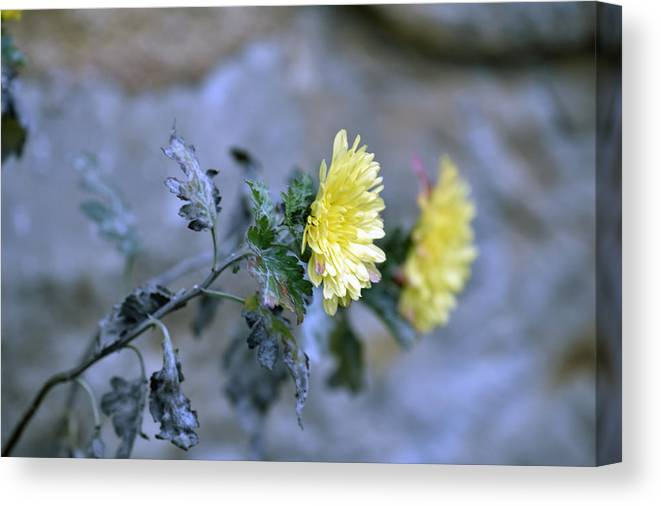 Abstract Canvas Print featuring the photograph Chrysanthemum losing hope by Adrian Bud