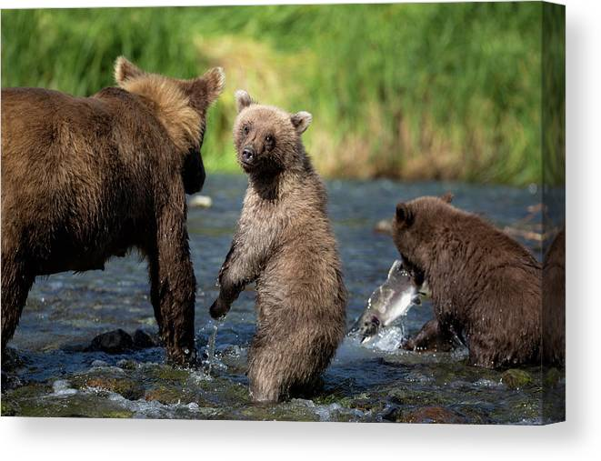 Katmai Peninsula Canvas Print featuring the photograph Coastal Brown Bear Family by Justinreznick